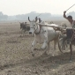 ঝিনাইদহে ঐহিত্যবাহী গরুর গাড়ীর দৌড় প্রতিযোগিতা
