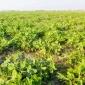 চরাঞ্চলে বাদামের বাম্পার ফলনের সম্ভাবনা