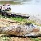 হালদা নদীতে ৮ কেজি ওজনের মরা মৃগেল মাছ ভেসে উঠেছে